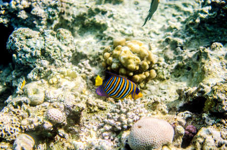 Multicolored striped angelfish in the waters of the Red Sea. The fish floats on the bottom among the corals.