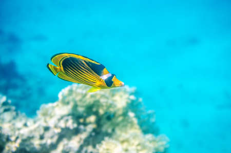 Yellow butterfly fish floating in the red sea.