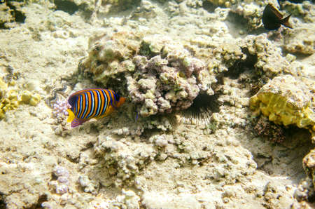 Multicolored striped angelfish in the waters of the Red Sea.