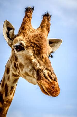 boca cerrada: Retrato de jirafa sobre fondo de cielo azul.