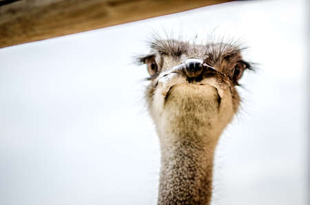 Surprised muzzle of an ostrich peeking out from behind the crossbar. Stock Photo