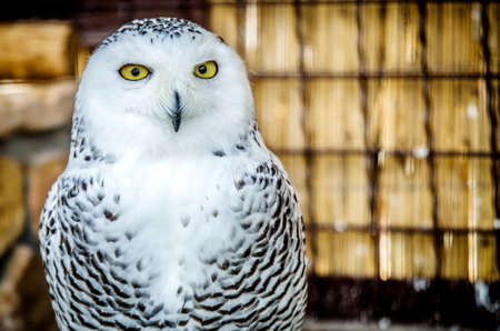 Portrait of a white owl staring at the camera.