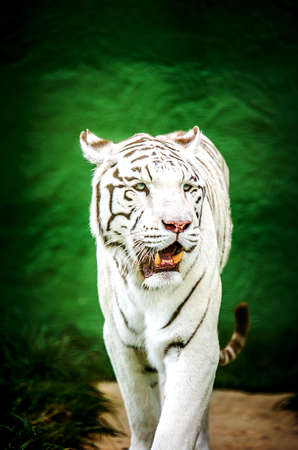 A rare white tiger on a green background. Stock Photo