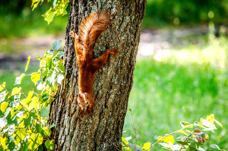 living organisms: A small red squirrel crawls down the tree. Stock Photo