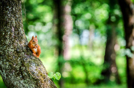 A small fluffy redhead squirrel sits on a tree and gnaws a nut.
