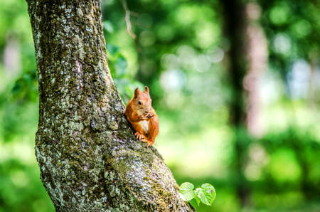 A small squirrel sits on a tree and gnaws a nut.