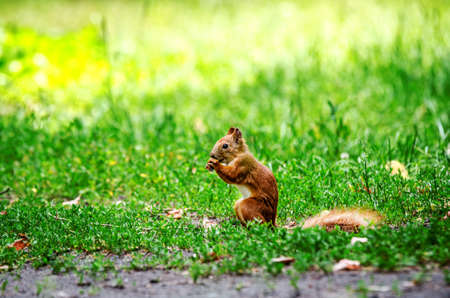 A red squirrel sits on the ground and gnaws a nut.