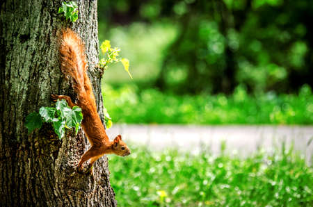 looked: The squirrel caught hold of the tree trunk and looked in front of her. Stock Photo