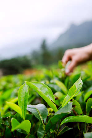 Tea leaves on the background of a hand. Banco de Imagens
