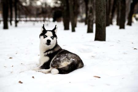 Beautiful husky puppy with blue eyes on the snow. Фото со стока
