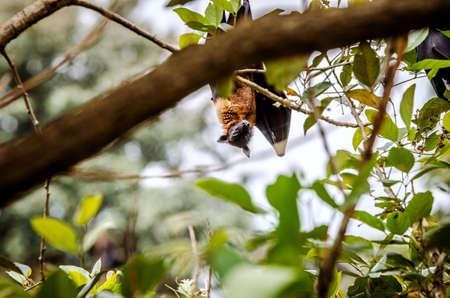 Flying dog hangs on a tree among foliage. Sri Lanka. Stock Photo