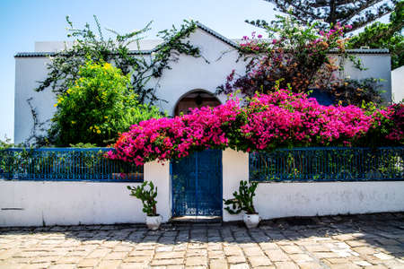 A beautiful huge rose bush that enveloped the fence of one of the houses. Sidi Bou Said Tunisia.