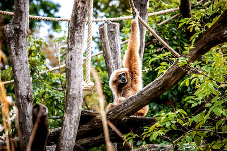 Gibbon hangs on a rope, holding hands. Stockfoto