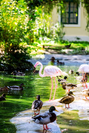 A pink and white flamingo stands on the shore of a pond among many ducks. Vienna Austria