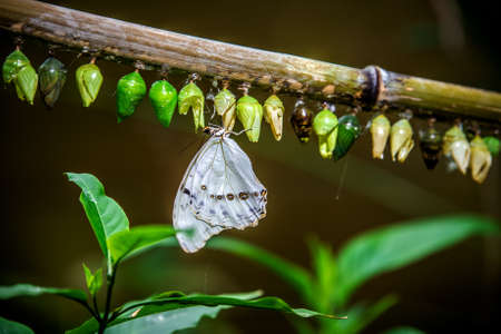 A butterfly hung on a branch where many cocoons of caterpillars hang. Vienna Austria