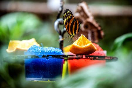 A bright butterfly drinks nectar from a slice of orange. Vienna Austria 写真素材