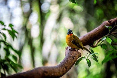 A bright Black-crested bulbul sits on a branch and looks at the camera. Vienna Austria