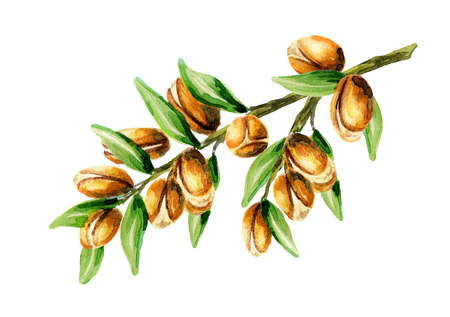 Branch of the argan tree, can be used as a design element for the decoration of cosmetic or food products using argan oil. Hand-drawn watercolor sketch Standard-Bild