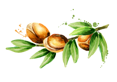 Branch of the argan tree, can be used as a design element for the decoration of cosmetic or food products using argan oil. Hand-drawn watercolor sketch Imagens