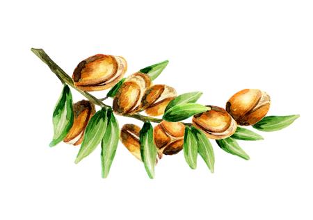 Tak van de arganboom, kan worden gebruikt als een ontwerpelement voor de decoratie van cosmetische of voedselproducten met arganolie. Handgetekende aquarel schets