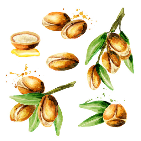 Grote reeks Argan-noten, kan als ontwerpelementen voor de decoratie van schoonheidsmiddel of voedselproducten worden gebruikt gebruikend argan olie. Handgetekende aquarel schets