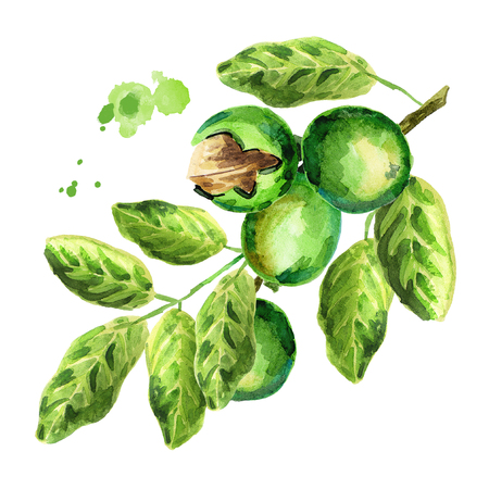 Green walnuts. Branch. Watercolor illustration