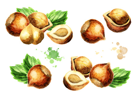 hazelnuts: Hazelnut compositions set. Hand-drawn watercolor illustration