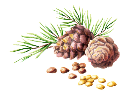Pine cones and nuts. Watercolor illustration
