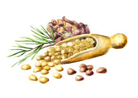 Pine nuts. Watercolor hand-drawn illustration Stock Photo
