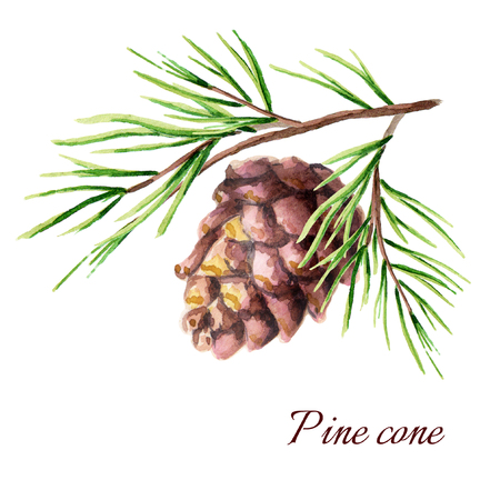 Pine cone. Watercolor illustration