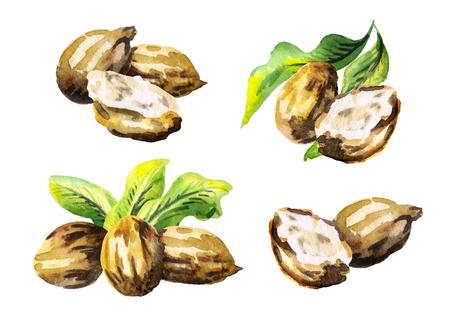 Shea-noten instellen. Aquarel illustratie
