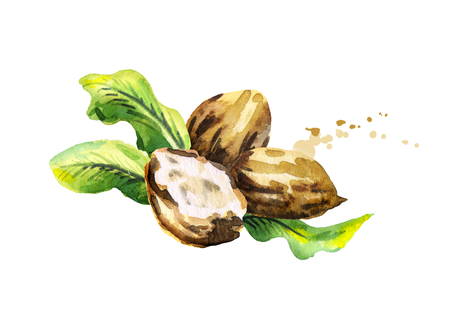 treatment plant: Shea nuts with butter and green leaves. Watercolor hand-drawn illustration Stock Photo