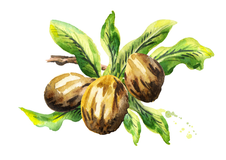 Shea nuts with green leaves. Watercolor hand-drawn illustration