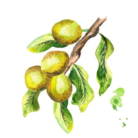 Shea plunt branch with nuts and green leaves. Watercolor hand-drawn illustration Stock Photo