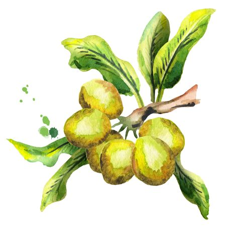 treatment plant: Shea plunt with nuts and green leaves. Watercolor hand-drawn illustration