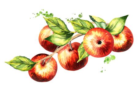 Zweig mit roten Äpfeln. Handgezeichnete Aquarellillustration Standard-Bild - 83695496