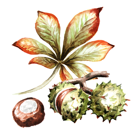 Chestnut composition. Hand-drawn watercolor illustration