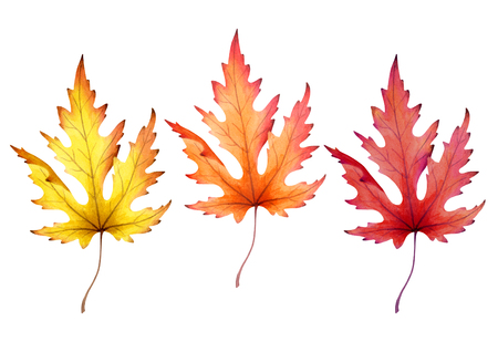 Maple leaf isolated on white background. Watercolor