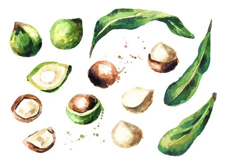 Macadamia nut elements set isolated on white background. Watercolor hand-drawn illustration