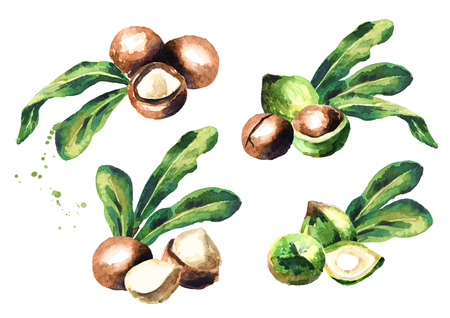 Macadamia nuts set isolated on white background. Watercolor hand-drawn illustration