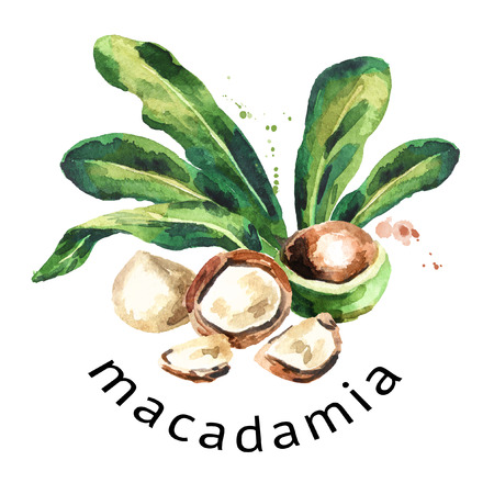 Macadamia nuts round composition. Watercolor hand-drawn illustration