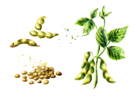 Soybean plant with leaves, pods and beans set. Watercolor hand drawing illustration Фото со стока
