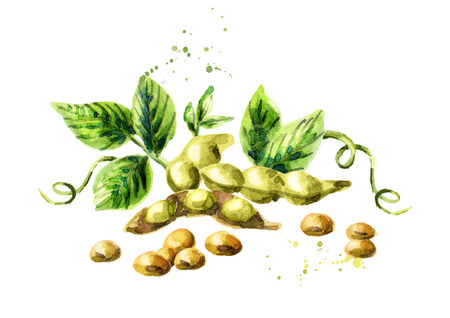 Soybeans composition. Watercolor hand drawing illustration