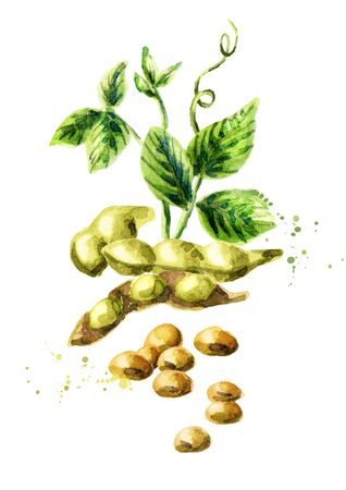 Soybeans vertical composition. Watercolor hand drawn illustration.