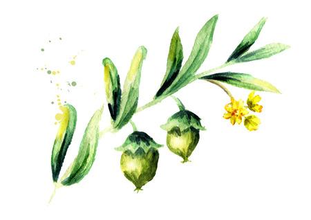 treatment plant: Branch jojoba with flower. Watercolor hand drawn illustration