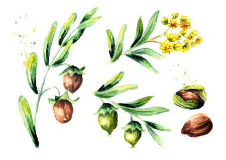 Jojoba plant set. Watercolor hand drawing illustration