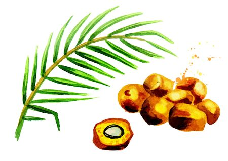 Branch and fruits of the palm tree. Hand drawn watercolor illustration