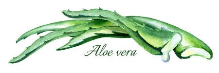 Organic Aloe vera horizontal illustration. Watercolor hand-drawn composition