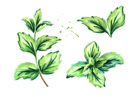 Peppermint plant set. Watercolor hand drawn collection Stock Photo