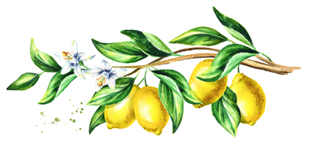 Lemon  branch with fruit and leaves.  Watercolor hand drawn horizontal illustration